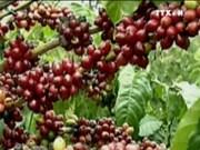 越南制定至2030年咖啡出口额达60亿美元的目标