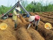 同塔省农民靠种草菇致富