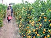 2017年金橘盆景节在会安世界文化遗产举行