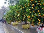 会安盆栽桔子火红上市 价格与往年基本持平