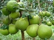 越南南部特产:绿皮柚