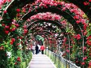 越南规模空前的玫瑰节即将亮相河内