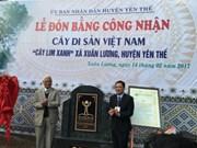 北江省千岁格木树被列入越南遗产树名录