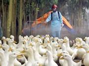 越南主动采取禽流感防控措施