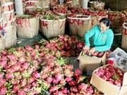 越南火龙果进军世界高端市场