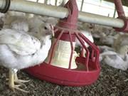 越南各省采取多项举措 严防禽流感疫情