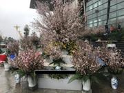 日本樱花节首次在永福省举行