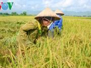 以国际标准生产稻米 提高竞争力