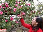 种植老玫瑰致富(组图)