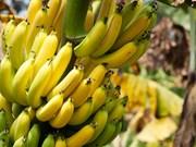 越南金瓯省香蕉进入迪拜市场