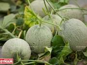 西宁省高科技甜瓜种植模式