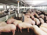 中国为越南肉猪打开国门