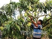 越南首批芒果出口到澳大利亚
