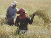 2017年孟加拉国将向柬埔寨购买5万吨蒸谷米