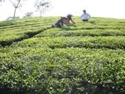 富寿省努力发挥茶树的生产潜力