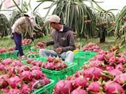 越南火龙果销往澳大利亚市场需满足澳方检疫等的条件