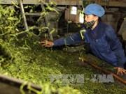 越南力争实现茶叶出口额2.5亿美元的目标