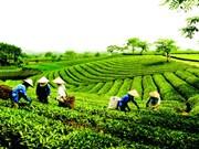 越南茶叶企业要调整方向 把茶叶产品打入苛刻市场