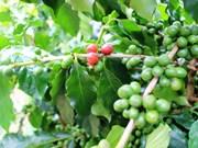 """越南批准""""越南高品质咖啡""""国家品牌发展框架提案"""