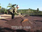 西原地区各省努力确保出口咖啡豆质量