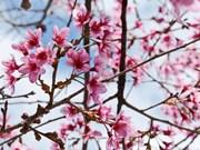 大叻市梅樱桃花卉节开幕