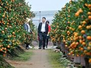 越南春节:金桔盆景畅销