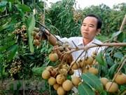 从2019年起越南可对澳大利亚出口新鲜龙眼