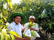 茶荣省芒果获全球良好农业操作认证  热销新加坡市场