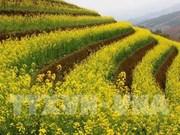 油菜花为安沛省木江界打造生态旅游新名片