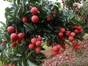 越南北江省不断加大向高端市场出口荔枝的力度