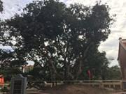 海阳省古荔枝树吸引参观者3000余人次