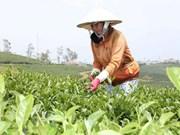 没有建立起著名茶叶品牌    茶叶出口受阻