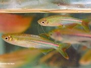 越南新发现12种淡水鱼