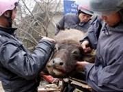 严寒天气使畜牧业损失1300亿越盾