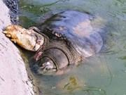 河内市紧急展开为还剑湖巨龟治疗措施