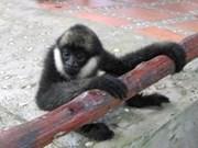两只稀有白颊猿将被放回森林