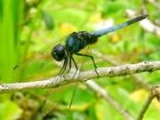 越南国家公园发现靛蓝色蜻蜓