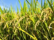 越南与古巴促进稻谷合作生产计划