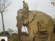 越南加强大象群体保护工作