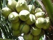 越南椰子出口量猛增