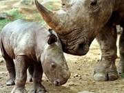 吉仙国家公园将复制越南独角犀牛骨架