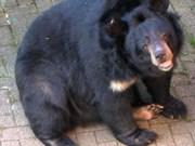 越南吉仙国家公园救护中心接收七头稀有马熊