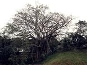 老街市上庙古榕树被承认为《越南遗产树》