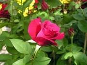 越南大叻市注重提高花卉经济效益