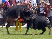 2012年越南海防涂山斗牛大赛吸引众多游客前来观看