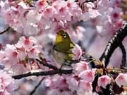 越南广宁省接受由日本赠送的140棵樱花树