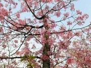 越南奠边省芒峰历史森林中之樱花岛