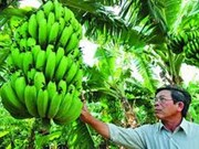 林同省拉巴香蕉出口前景广阔