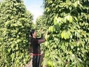 全国胡椒出口额增长20%