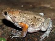 越南同奈和嘉莱两省发现新种峡口蛙